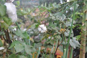 cotton 4